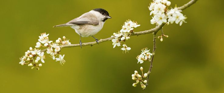 Marsh tit perched on blossom