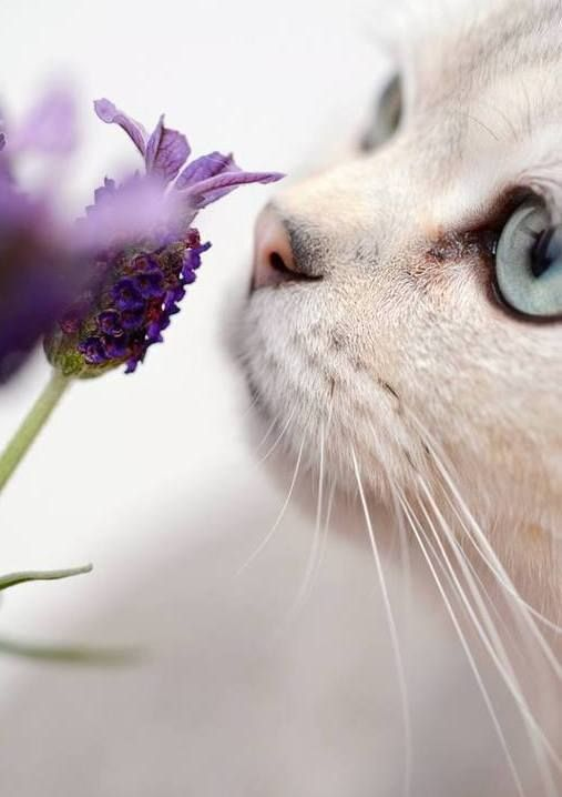 white cat sniffing lavender
