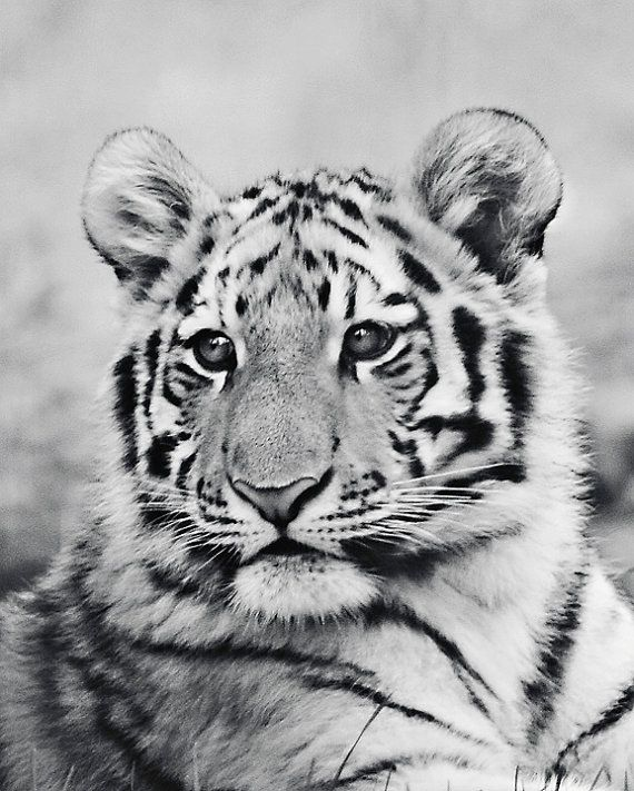 Tiger Photography  Tiger baby animal nature by #WindrushImages #fpoe #photography