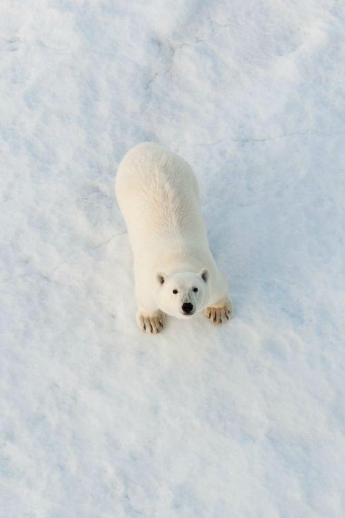 Polar Bear by Ian Mears