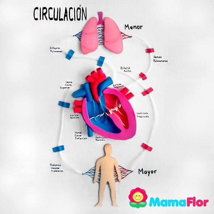 Maqueta Del Aparato Circulatorio Humano Con Reciclaje Maqueta Cuerpo Humano Proyectos De Ciencia De La Escuela Sistemas Del Cuerpo Humano