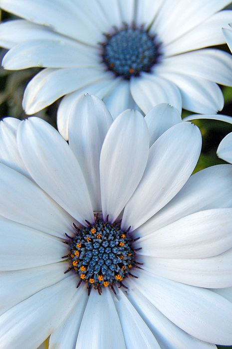 Sky Daisies Print by Pearson Photography