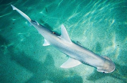 #Shark #Fact: Bonnethead sharks must literally swim or sink if they don't keep moving to drive oxygen past their gills.