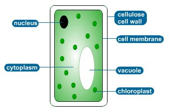 GCSE Biology: Typical plant cell