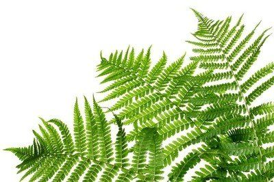 Naklejka na Ścianę Trzy zielone liście paproci samodzielnie na białym tle