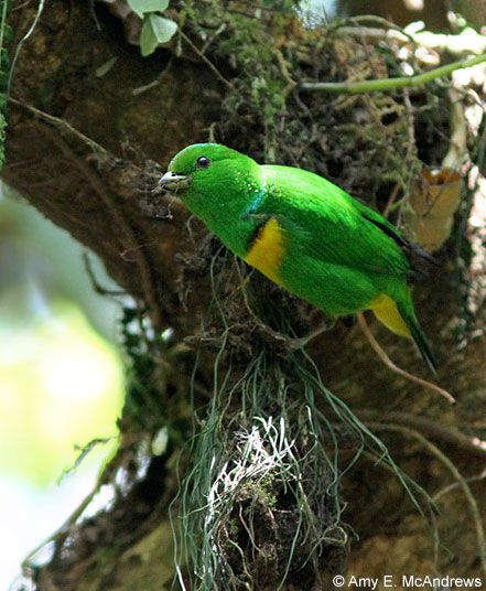 Bellas Aves de El Salvador: Chlorophonia occipitalis (clorofonia corona azul)