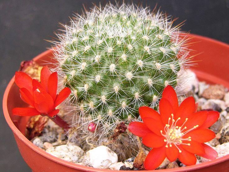 Айлостера - Комнатный кактус. Фото.