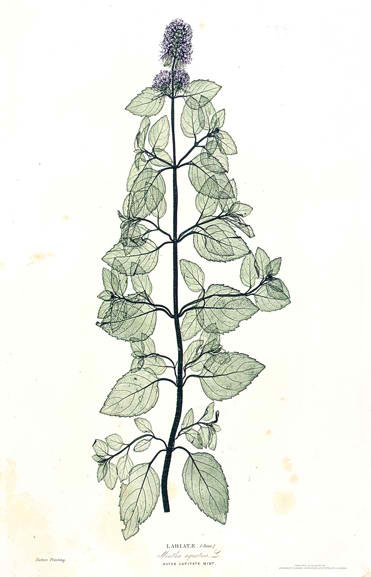 A Few Leaves from the Newly Invented Process of Nature Printing  in 1854  Henry Bradbury learned the painstaking method of electrotyping, which produces a metal facsimile of an object-- in this case a water mint--that is used to create a print. He learned the process in Austria, then patented the process in the United Kingdom, an act of industrial espionage.