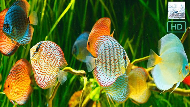 Indian Discus & gold fish at market : selling at open market :for biginners