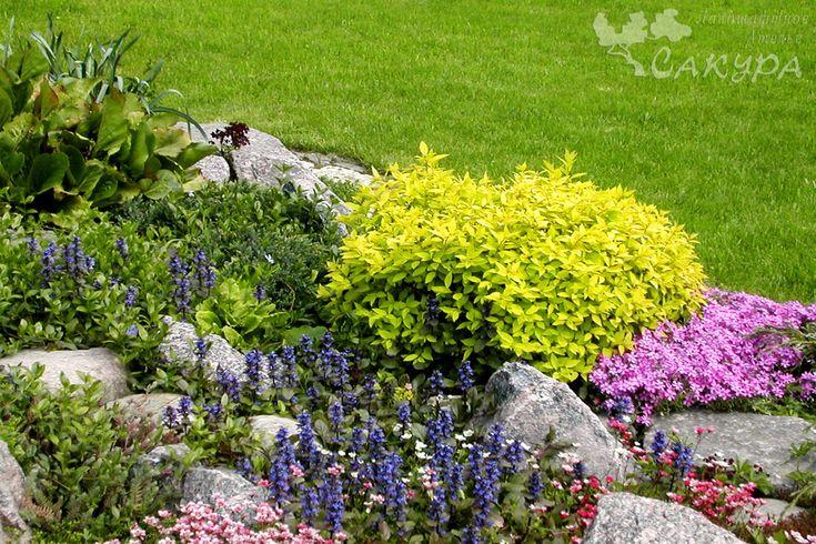 Альпийская горка, фрагмент (почвопокровные, спирея японская 'Golden Princess')