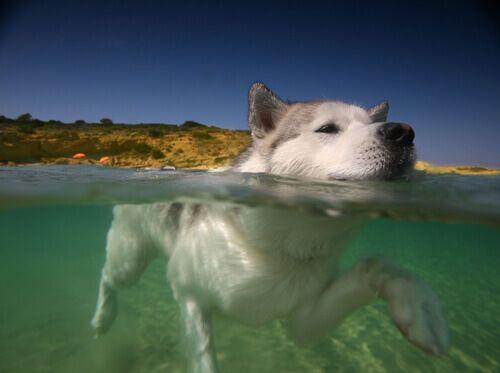 Abitate vicino al mare o avete una piscina? Approfittatene e fate nuotare il vostro cane. Ecco gli insegnamenti preliminari per una nuotata perfetta!