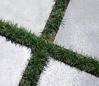 Mondo grass between pavers