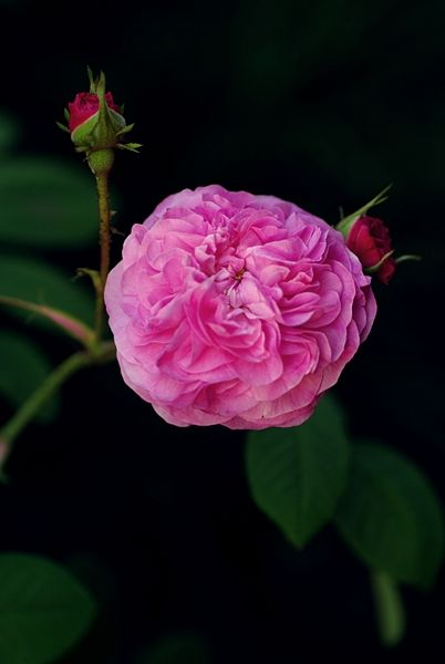 私はロマン主義の画像:ROSE DECO