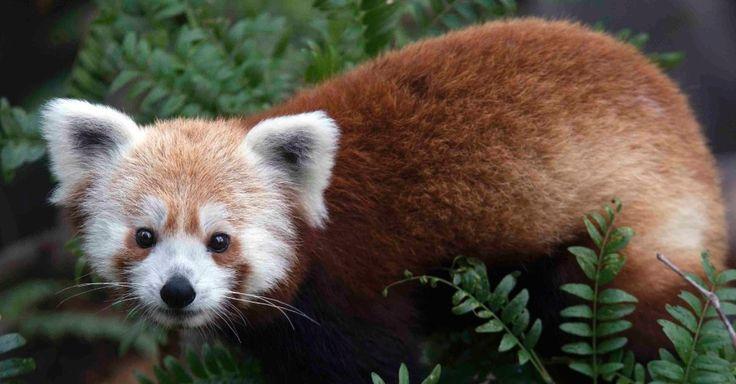 24/06/2013 - Um panda vermelho, chamado Rusty, desapareceu do Zoológico Nacional Smithsonian, nos Estados Unidos, poucas semanas depois que entrou em exibição. A foto acima é de um folheto divulgado pelo zoológico