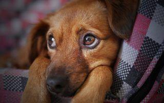 Sobald der Hund Blut im Stuhl aufweist, bricht für ...