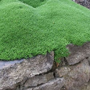 Scleranthus biflorus, lush green low mounding Australian native, with a moss like appearance.