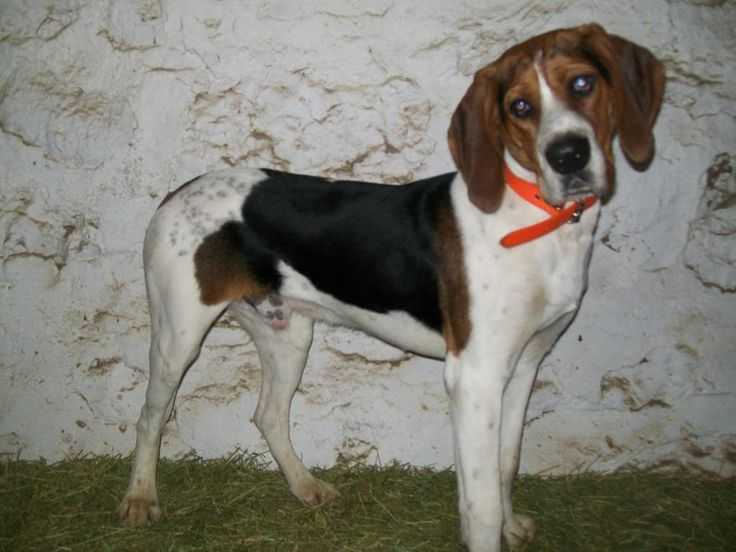 how to train a walker hound