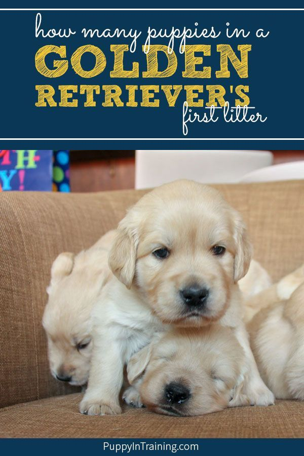 What Will Be Our Golden Retriever S First Litter Size Puppy