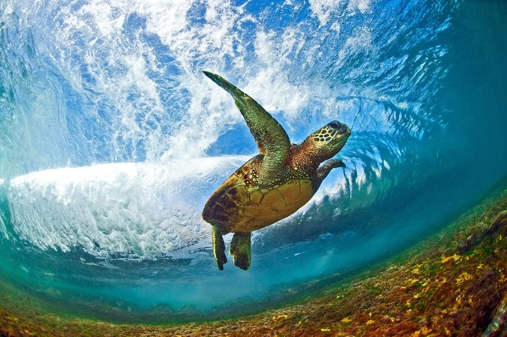 A beautiful Hawaiian green sea turtle behind a breaking wave off  Oahu. From The Guardian. All photographs: Clark Little/Barcroft Media
