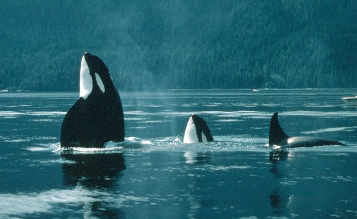 I really want to see an orca in the wild