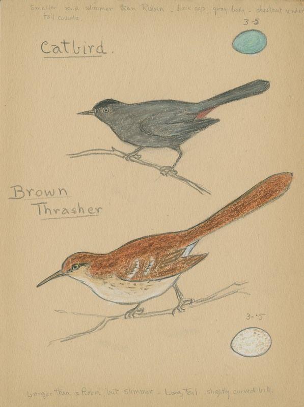 Catbird and Brown Thrasher | saskhistoryonline.ca