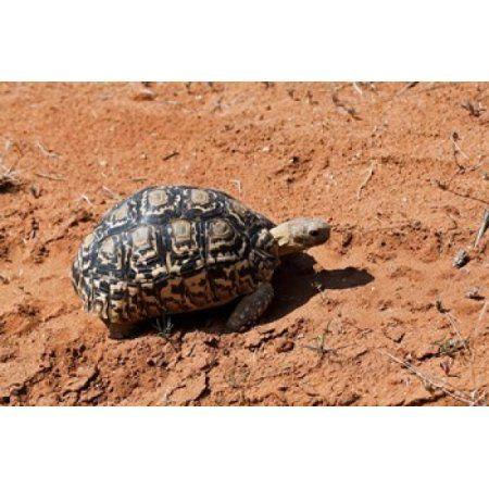 Leopard Tortoise Samburu National Game Reserve Kenya Canvas Art - Adam Jones DanitaDelimont (35 x 23)