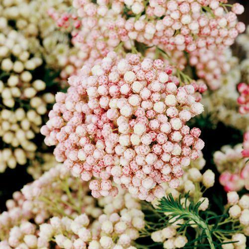 Rose pink Riceflower (Ozothamnus diosmifolius) #native #wildflower