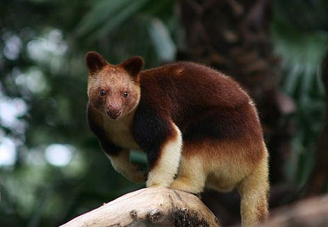 The Tree-Kangaroo has to be one of the most fascinating animals found in PNG. Expect to see one of these marsupials when visiting the Morobe province. http://www.pagahillestate.com/visiting-morobe-province/