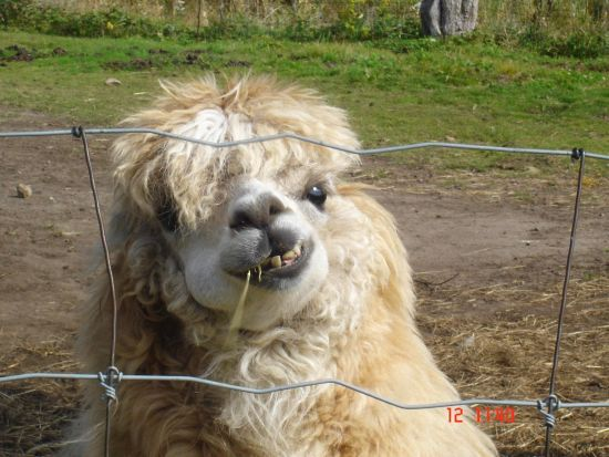 25+ Best Ideas About Llama Pictures On Pinterest
