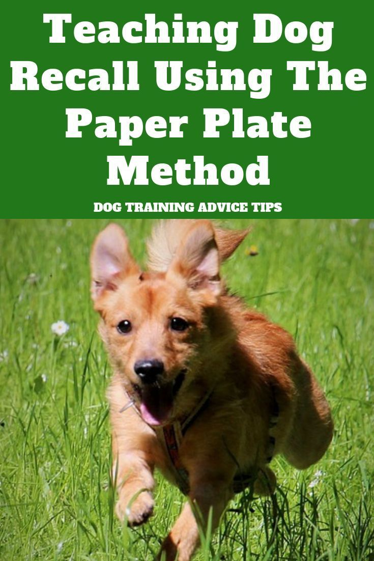 Teaching Dog Recall Using The Paper Plate Method Dog Training