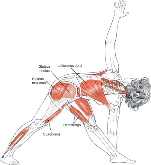 Yoga Anatomy ..... Parivrtta Trikonasana | Revolved Triangle Pose ....... Benefits : 1) Expands your chest and shoulders. 2) Increases neck mobility. 3) Stretches your spinal muscles and increases spinal range of motion. 4) Strengthens and tones muscles of your tighs. 5) Stretches your calf muscles, hamstrings, and hip musculature. 6) Can relieve upper back tension. 7) Increases proprioception (or the sense of position in space) of your feet and ankles. 8) Stimulate abdominal organs.