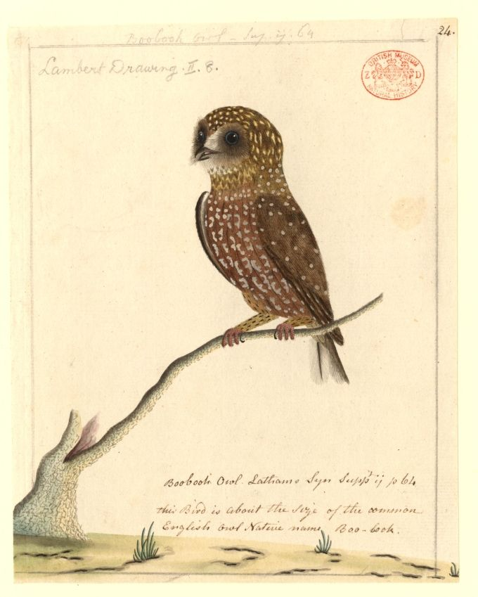 """Boobook Owl""  Artist: Port Jackson Painter  Created: 	[between 1788 and 1797]"