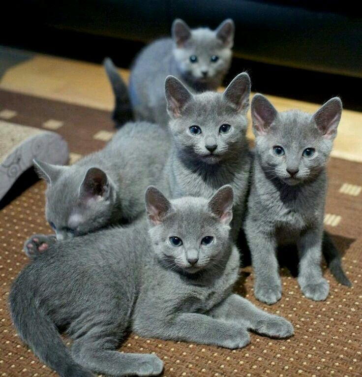 Gorgeous Russian Blue babies.❤