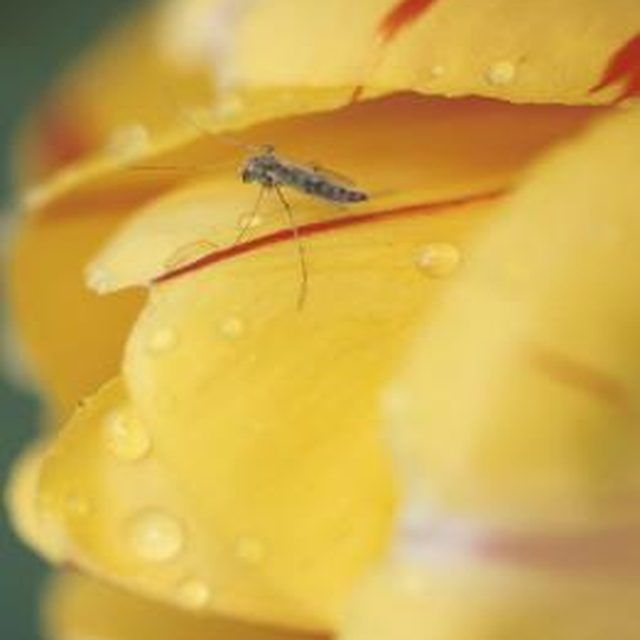 Create a mosquito barrier with garlic oil spray.
