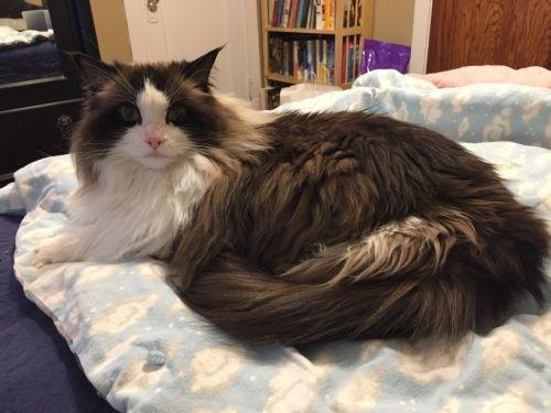 Ragdoll – Specialty Purebred Cat Rescue