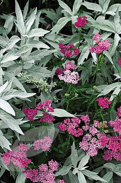 Buy Western mugwort Artemisia ludoviciana 'Valerie Finnis': withe 'cerise queen' yarrow