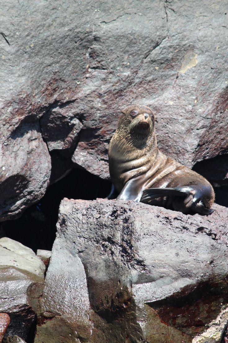Galapagos Fur Seal, Buccaneer Cove, Santiago Island
