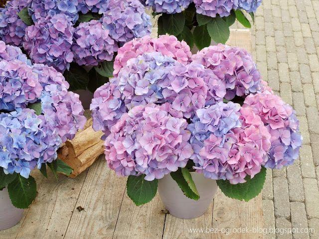 Rose Quartz & Serenity - My flower inspirations. Hydrangea