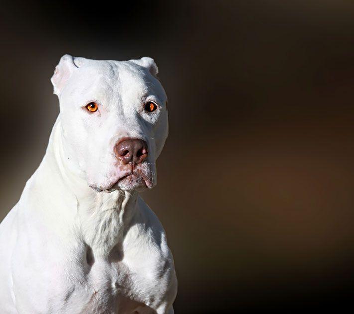 Majestic White Bully Breed Dog