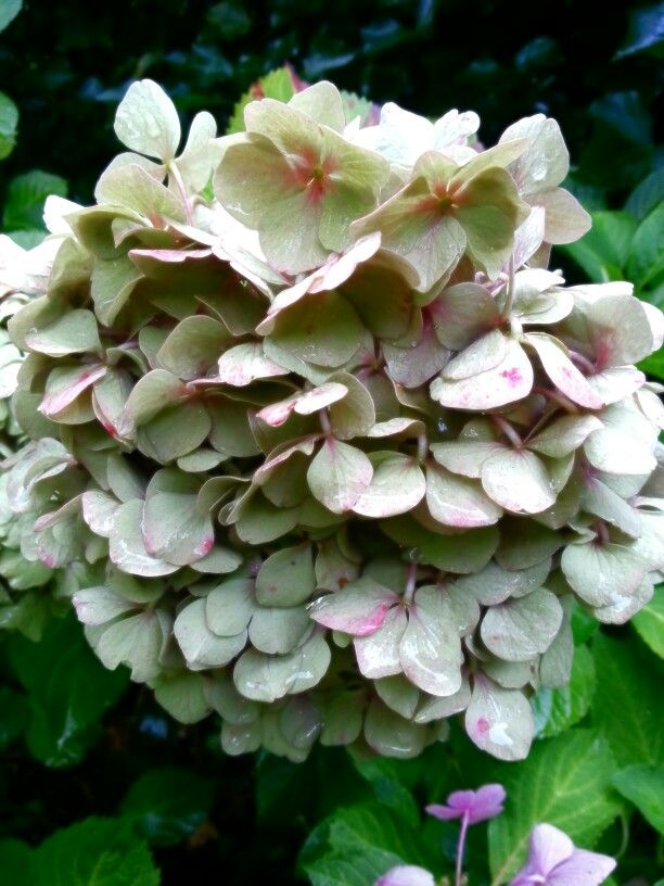 Hortensia in herfstkleur in de tuin