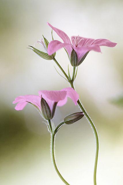 Pastel Pink Geraniums