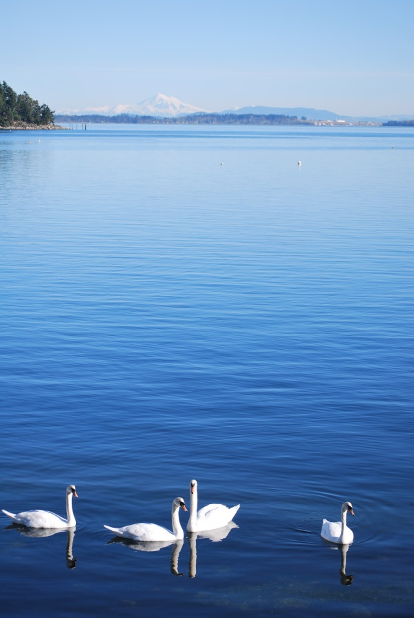 Beautiful day with Swans #brentwoodcollege