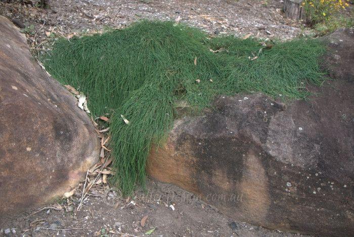 Casuarina ground cover