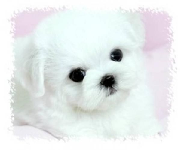 Micro Teacup Maltese Puppies | TINY-TEACUP MALTESE PUPPIES?~? for sale in Assiniboia, Saskatchewan ...