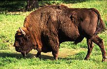 animals of Poland; wisent