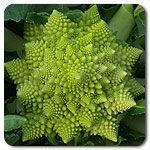 Organic Tipoff F1 Romanesco Cauliflower- trying again this year! Last year it never flowered.