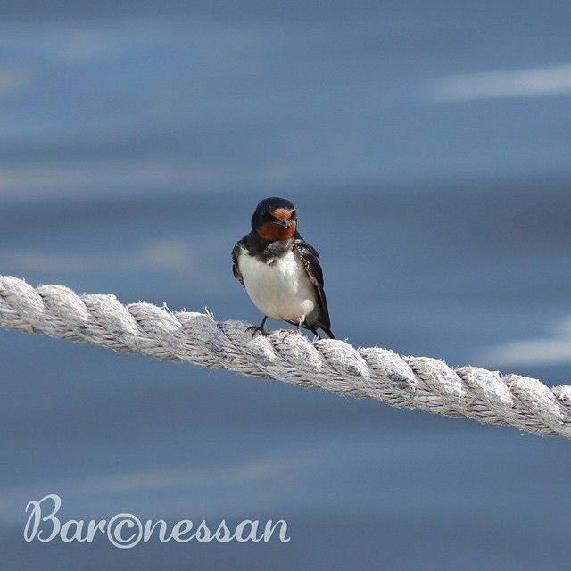 Poserande ladusvala #fåglar #birds #nature #svala
