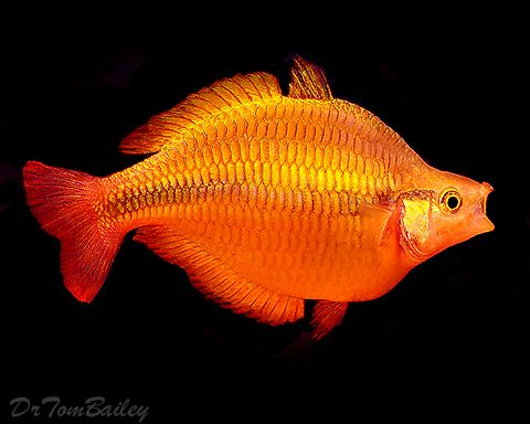 163 best images about rainbow fish on pinterest for Yellow rainbow fish