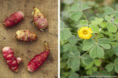 Découvrez l'oca et les conseils de culture. D'autres légumes exotiques sur www.detentejardin.com