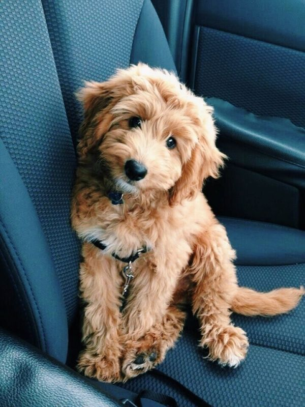 Vsco Relatablemoods Cute Puppies Cute Dogs Goldendoodle
